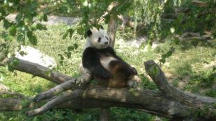 Panda urodziła bliźniaki. Jedno porzuci