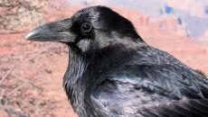 Chcą odstrzelić tysiąc kruków, wron i srok. Ekolodzy zbierają podpisy pod petycją