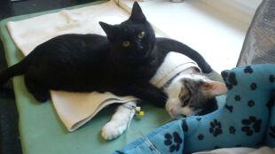 Rademenes. Czarny kot, który przynosiszczęście chorym zwierzętom