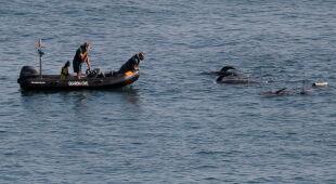 Grindwale utknęły u wybrzeży Hiszpanii (ALBERTO MORANTE/PAP/EPA)