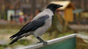 Ptasi móżdżek to mit. Wrony przeszły test pianki