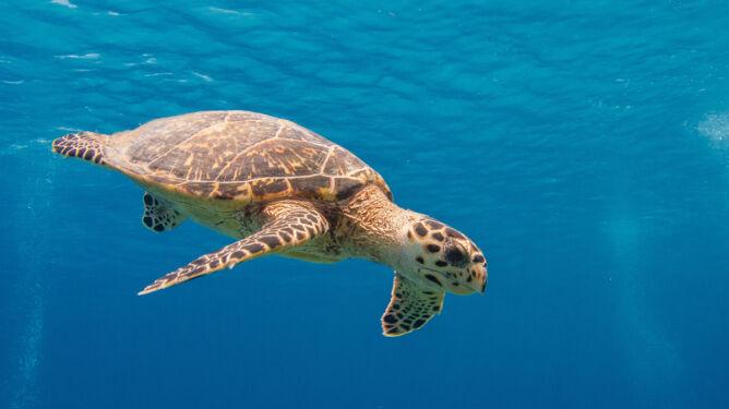 """""""Śmieciowe"""" jedzenie w oceanach. Dla żółwi to wyrok śmieci"""