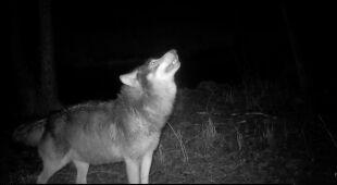 Wyjący wilk