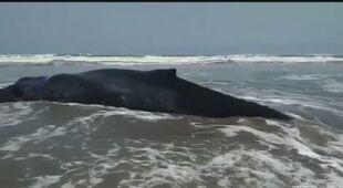 Wieloryb wyrzucony na plażę w Peru