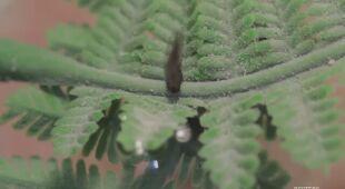 Endemiczny gatunek żaby z Chile